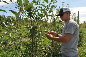 Plant science student examines apple trees